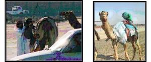 CamelJockeys1-300x124 (1)