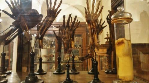 Museo de Anatomia Humana De turin . Manos disecadas expuestas en una vitrina